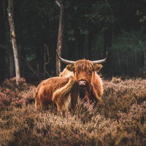 Print Schotse Hooglander