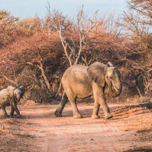 Print Olifant met jong in Zuid-Afrika