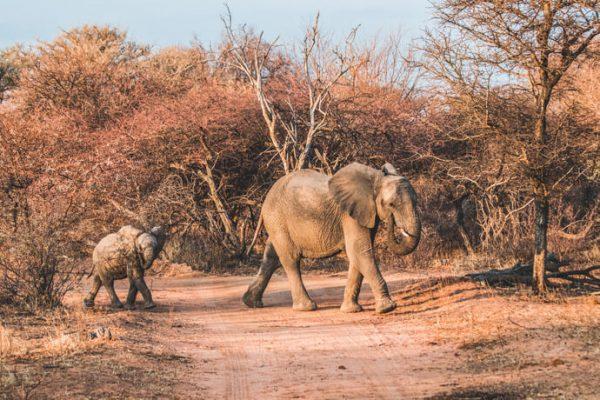 Print olifant met jong